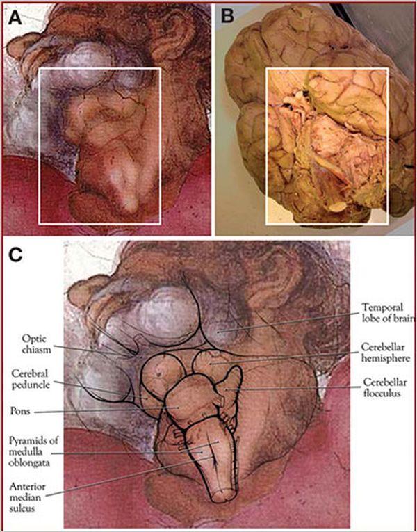 редкое анатомическое изображение кисти Микеланджело